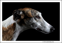 Greyhound Rescue and Rehab